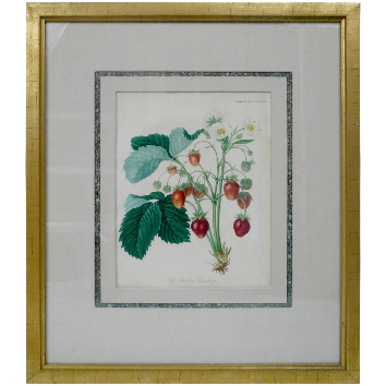 Four Framed Early 19th Century English Botanical Prints of Fruit